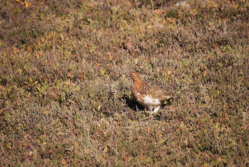 Птица государства тундреной куропатки вербы Аляски стоковые фотографии rf