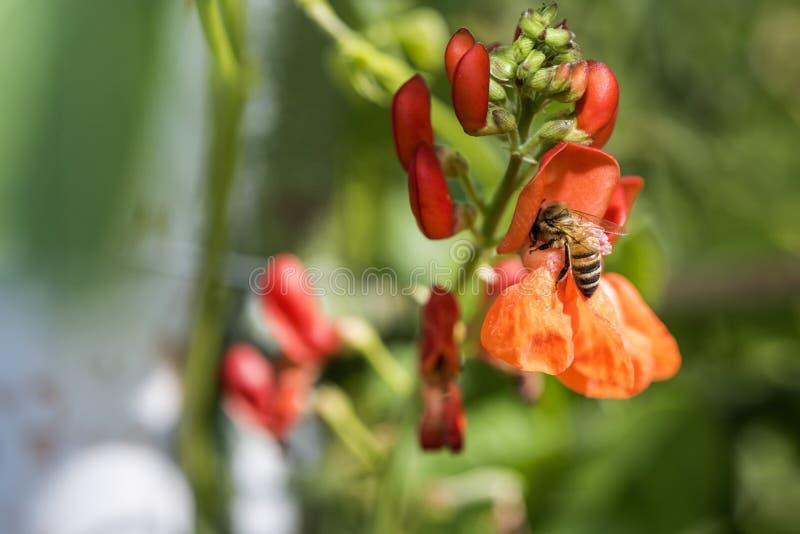 Пчела меда опыляя красные цветки swallowtail лета травы дня бабочки солнечное стоковые изображения