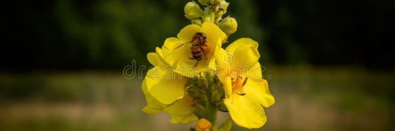 Пчела собирает нектар от цветков mullein в луге стоковое изображение rf