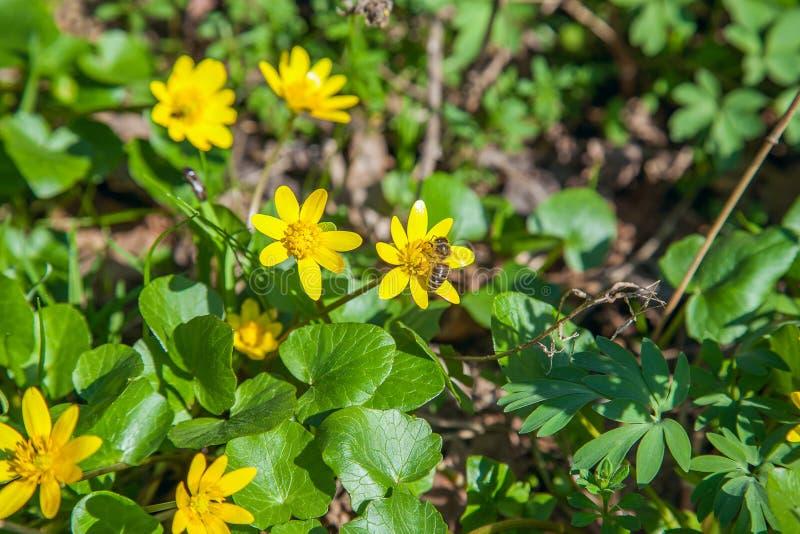 Пчела собирая цветень от palustris Caltha ноготк болота цветет Palustris Caltha ноготк болота зацветая весной лес стоковое фото