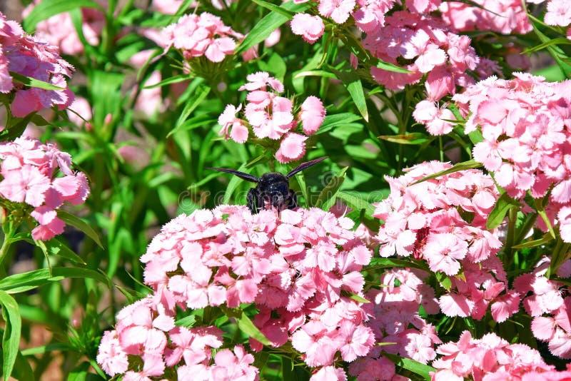 Пчела ошибки Xylocopa на фото запаса цветков стоковое изображение rf