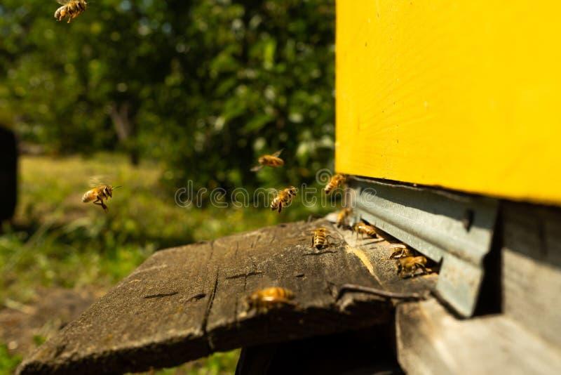 Пчелы летают к крапивнице и носят цветень один за другим в летних днях стоковые фотографии rf