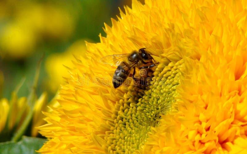 пчела stock photo