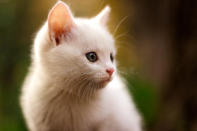 Прелестный белый кот сидя в саде и смотря в расстоянии Красочная предпосылка с цветами осени стоковое фото rf