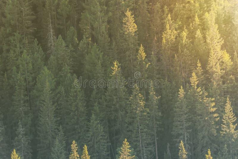 Предпосылка зеленых деревьев, наклон горы с елями в солнечном свете стоковая фотография