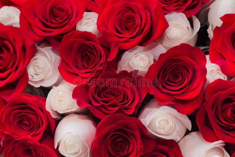 предпосылка красного цвета и белых роз стоковые фотографии rf