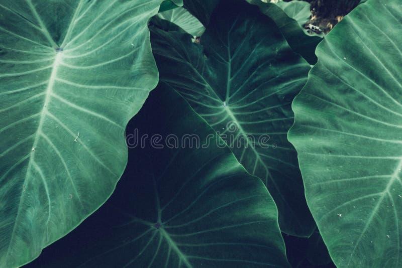 Предпосылка тропической природы концепции текстуры лист гигантского таро темная ая-зелен стоковое фото rf