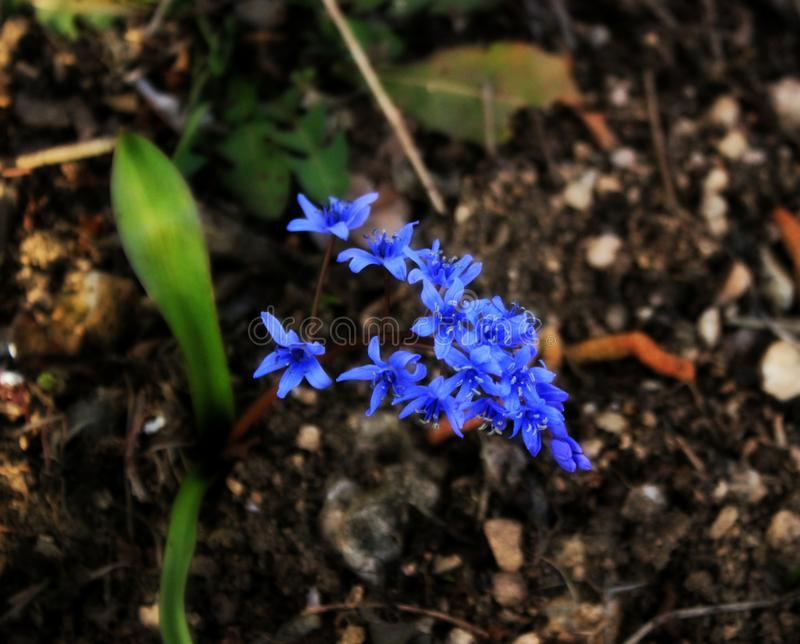 Предыдущая весна цветет verna Ficaria, сине-фиолетовые цветки горы стоковые фотографии rf