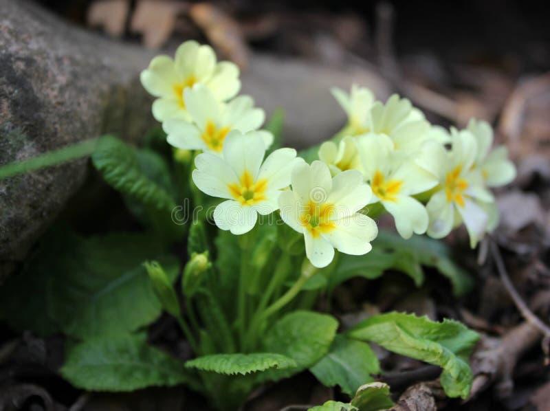 Предыдущая гора весны цветет белое, желтый стоковая фотография