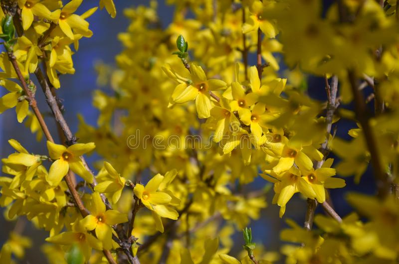Предыдущий цвести весны кустов forsythia стоковые изображения rf