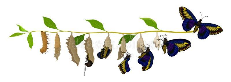 Преобразование бабочки от личинки к взрослому насекомому Жизненный цикл Тема природы и инсектологии Плоский дизайн вектора иллюстрация штока