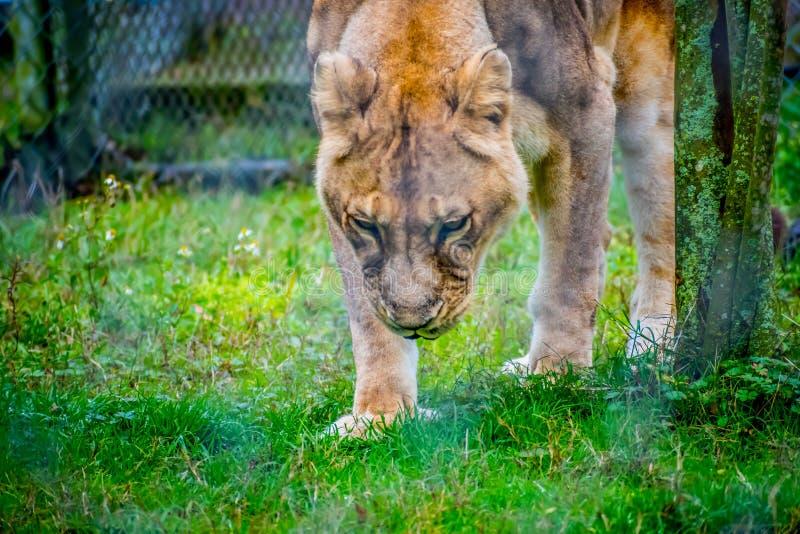 Проворная женская львица в Джексонвилл, Флорида стоковая фотография