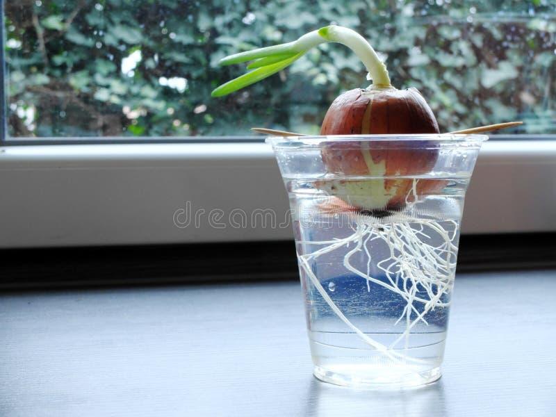 Прорастать лук в стекле прозрачной пластмассы растя на силле окна с видимыми корнями и зелеными травами сразу к стоковые изображения rf