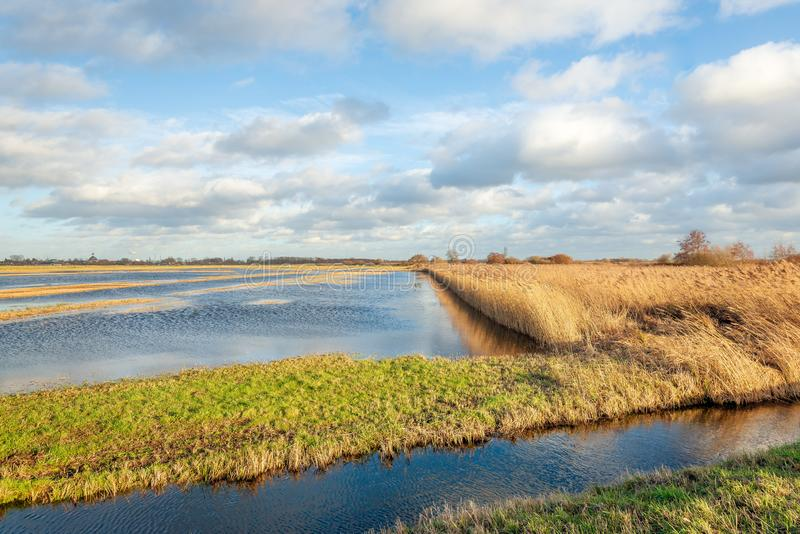 Пожелтетые тростники отразили в воде затопленной части голландского польдера стоковое фото