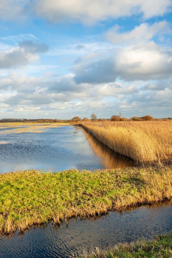 Пожелтетые тростники отразили в воде затопленной части голландского польдера стоковые изображения