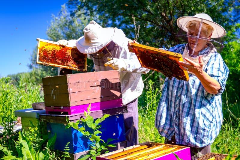 2 пожилых apiarists, beekeepers проверяют пчел на соте стоковые фото