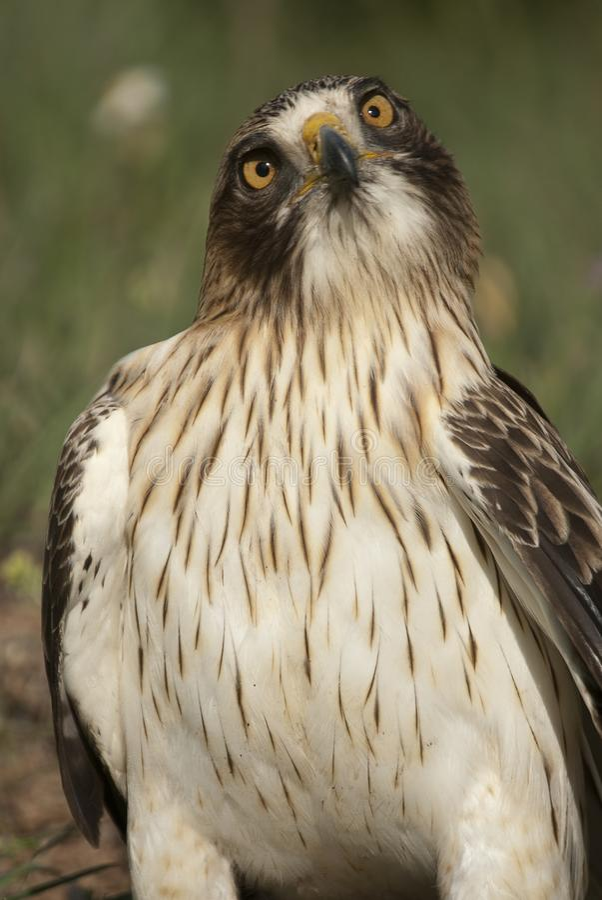 Покрашенный орел, бледный morph, pennata Аквила стоковая фотография rf