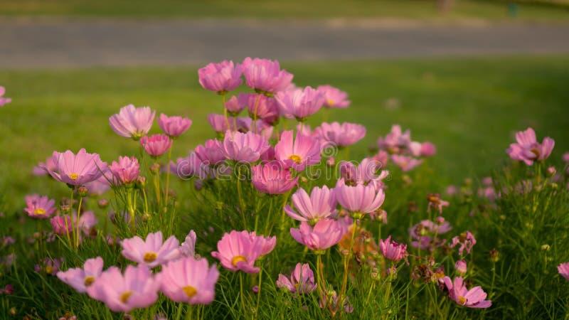 Поле милых розовых лепестков цветков космоса цветет на зеленых листьях, небольшом бутоне в парке, запачканной лужайке и предпосыл стоковое фото