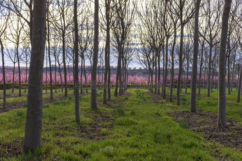 Поле со строками дерева грецкого ореха весной на восходе солнца Персиковое дерево в цветени с розовыми цветками на предпосылке стоковые фотографии rf