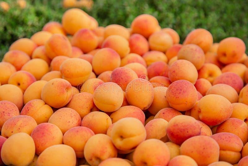 Полная коробка зрелого абрикоса Сбор органического плода в саде стоковые фотографии rf