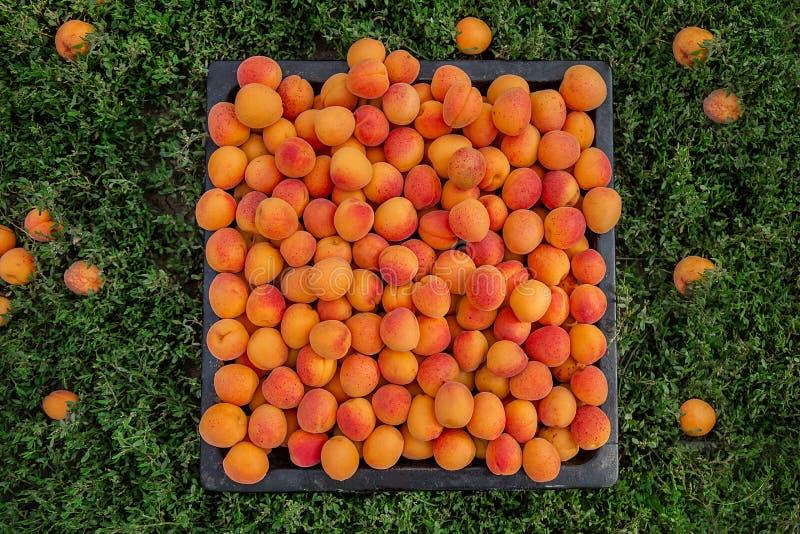 Полная коробка зрелого абрикоса Сбор органического плода в саде стоковое фото