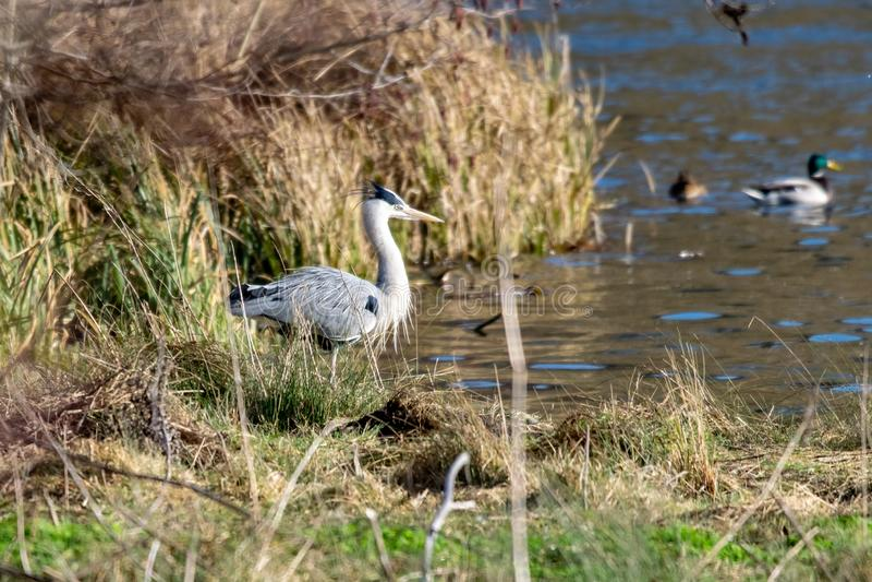 Положение птицы серой цапли дикое на крае озера в солнечном свете зимы стоковое фото rf