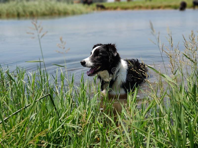 Положение собаки Коллиы границы в длинных тростниках на крае голубого озера стоковая фотография