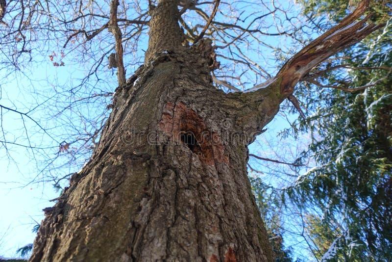 Полость в стволе дерева Нижний взгляд Бочонок без листьев Зима стоковая фотография rf