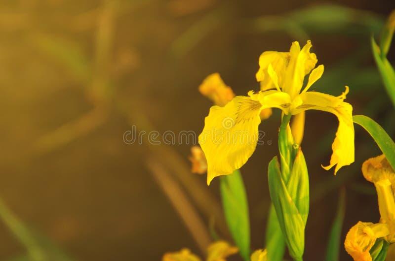 Подкрашиванное изображение дикой желтой радужки стоковые изображения rf