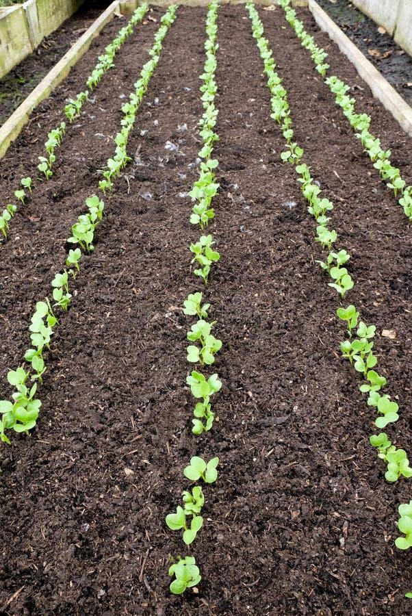 Поднятая кровать овоща с 5 строками овощей саженца стоковые фото