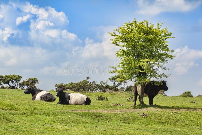 Подпоясанные скотины Bodmin Galloway причаливают Корнуолл стоковая фотография rf