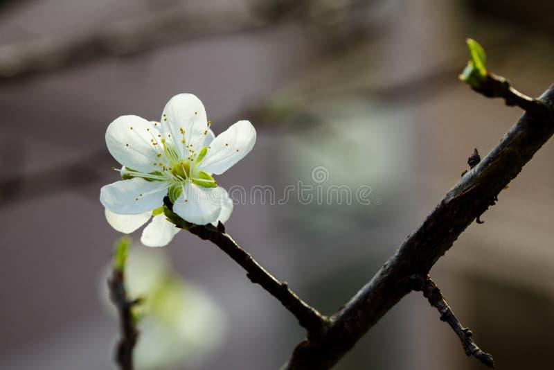 После зимы, предыдущая весна, Тайвань, цветения сливы, белые цветения сливы стоковое изображение rf