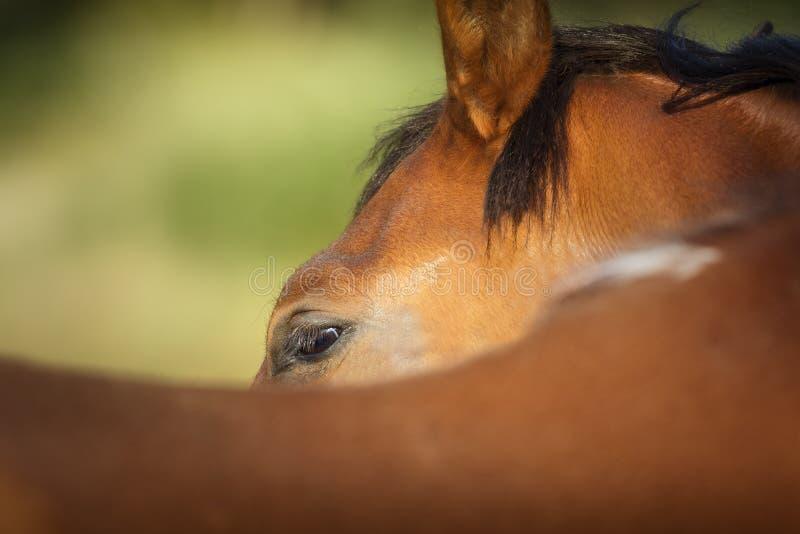 Посмотрите лошади каштана сфотографированной от за своего оковалка с зеленой предпосылкой стоковые фотографии rf