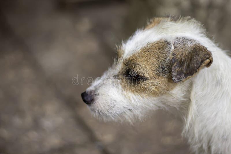 Портрет белой собаки на кирпиче коричневого цвета пола стоковые изображения rf