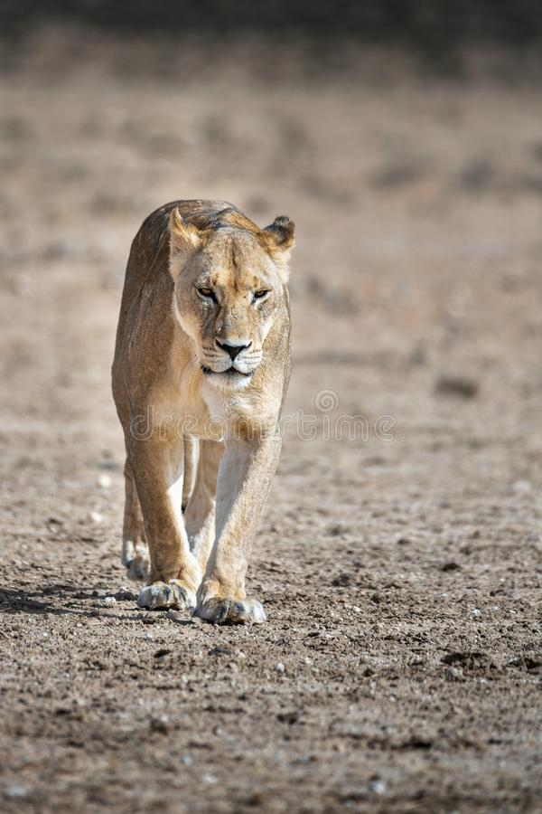 Портрет женской львицы, пантера Лео стоковая фотография rf
