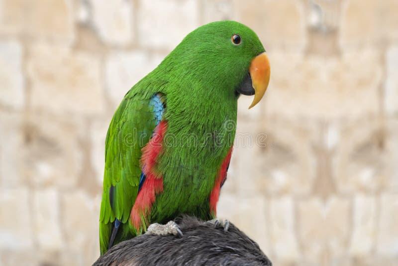Портрет зеленого попугая, усаженный на голову чего только часть волос можно увидеть стоковое фото