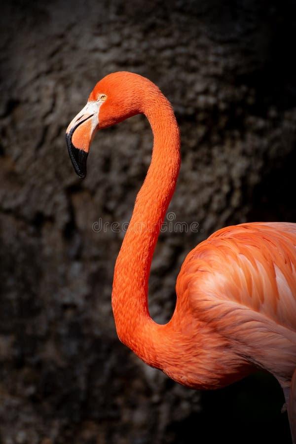 Портрет карибского фламинго стоковая фотография