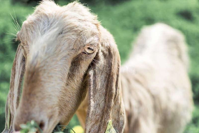 Портрет конца-вверх молодой белой козы смотря камеру Англо-Nubian порода отечественной козы стоковая фотография