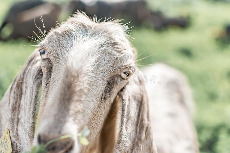 Портрет конца-вверх молодой белой козы смотря камеру Вид спереди Англо-Nubian порода отечественной козы стоковое фото