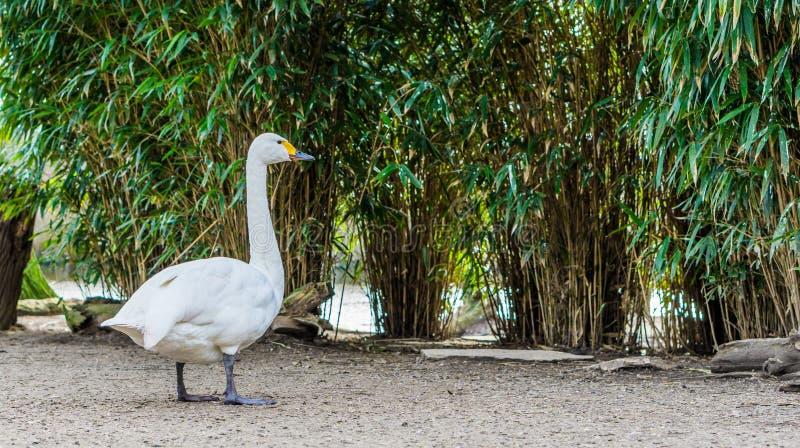 Портрет лебедя bewick, красивая птица белой воды от Евразии стоковые изображения