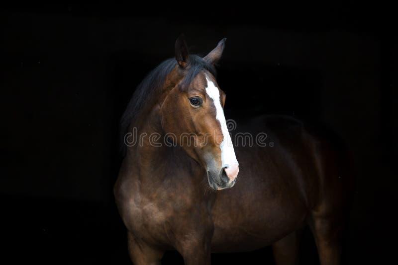 Портрет лошади на черноте стоковое фото rf