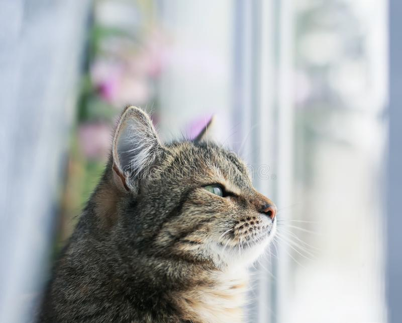 Портрет милого нервного кота сидя на окне окруженном белым Тюль и мечтательным смотря снаружи стоковые изображения rf