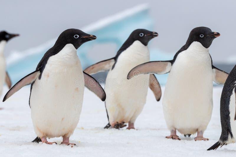 Портрет пингвина Адели Пингвины Адели проходя парадом на хлопь льда стоковое изображение rf