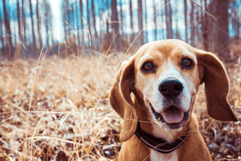 Портрет чистой собаки бигля породы Конец бигля вверх по усмехаться стороны собака счастливая стоковые фото