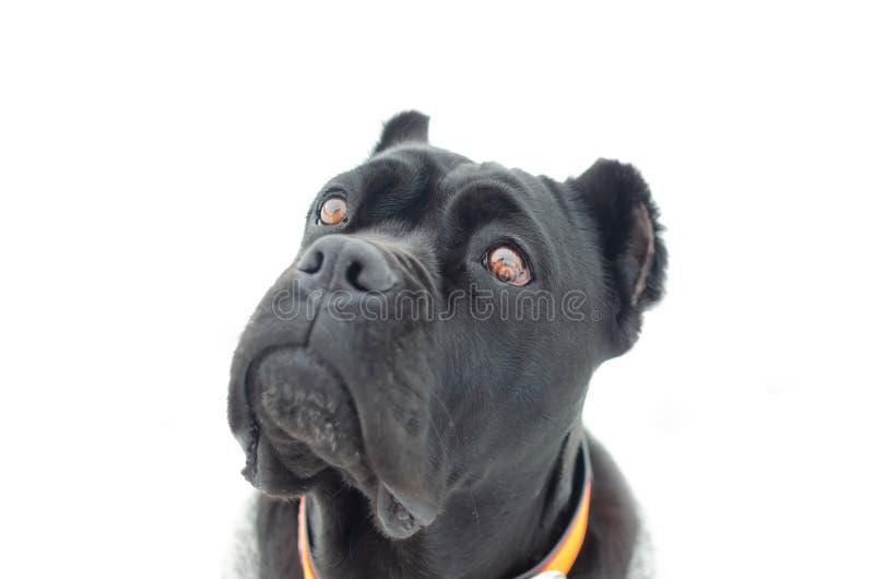 Портрет Corso тросточки Молодые энергичные прогулки собаки стоковые изображения