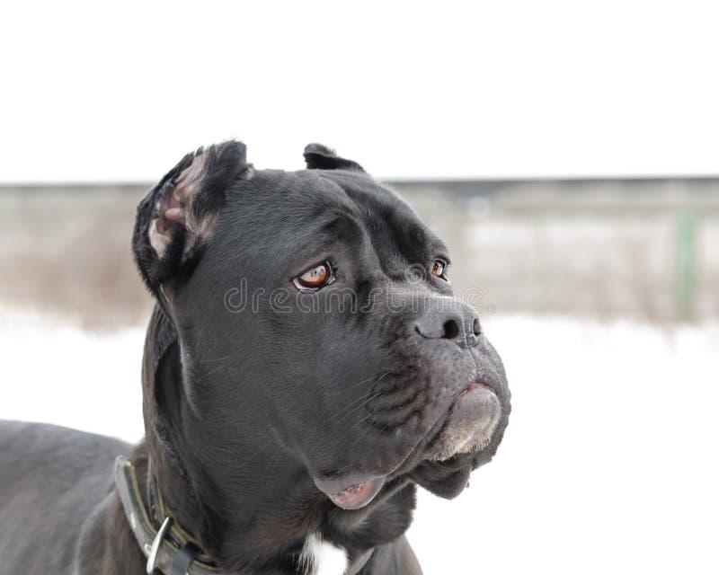 Портрет Corso тросточки Молодые энергичные прогулки собаки стоковые фотографии rf