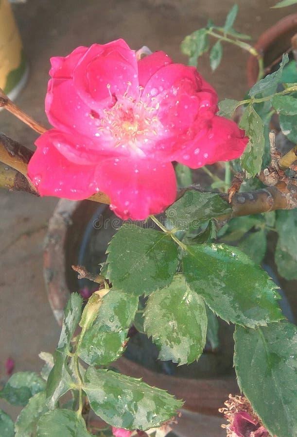 🌷, Rosa färgros royaltyfria foton