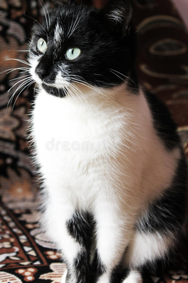 КР¾ шка/Cat arkivfoton