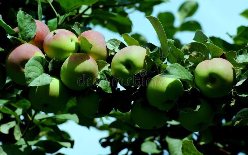 Оn de takken rijpt sappige vruchten stock fotografie