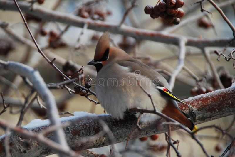 Оrdinary太平鸟Bombycilla garrulus 俄国 库存照片